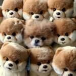 500421 Conheça Boo o cão mais fofo do mundo 22 150x150 Conheça Boo: o cão mais fofo do mundo
