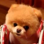 500421 Conheça Boo o cão mais fofo do mundo 24 150x150 Conheça Boo: o cão mais fofo do mundo