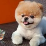 500421 Conheça Boo o cão mais fofo do mundo 3 150x150 Conheça Boo: o cão mais fofo do mundo