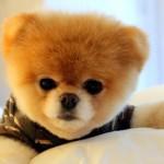 500421 Conheça Boo o cão mais fofo do mundo 5 150x150 Conheça Boo: o cão mais fofo do mundo