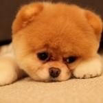 500421 Conheça Boo o cão mais fofo do mundo 6 150x150 Conheça Boo: o cão mais fofo do mundo