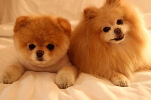 500421 Conheça Boo o cão mais fofo do mundo 7 Conheça Boo: o cão mais fofo do mundo