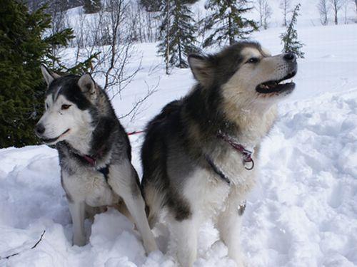 500766 husky siberiano dicas cuidados fotos 1 Husky Siberiano: dicas, cuidados, fotos