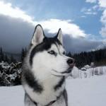 500766 husky siberiano dicas cuidados fotos 10 150x150 Husky Siberiano: dicas, cuidados, fotos