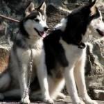 500766 husky siberiano dicas cuidados fotos 150x150 Husky Siberiano: dicas, cuidados, fotos