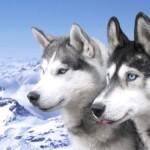 500766 husky siberiano dicas cuidados fotos 16 150x150 Husky Siberiano: dicas, cuidados, fotos