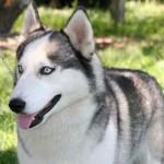 500766 husky siberiano dicas cuidados fotos 18 150x150 Husky Siberiano: dicas, cuidados, fotos