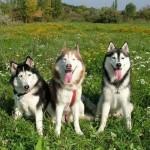 500766 husky siberiano dicas cuidados fotos 19 150x150 Husky Siberiano: dicas, cuidados, fotos