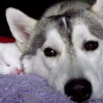 500766 husky siberiano dicas cuidados fotos 22 150x150 Husky Siberiano: dicas, cuidados, fotos
