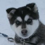 500766 husky siberiano dicas cuidados fotos 27 150x150 Husky Siberiano: dicas, cuidados, fotos