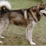 500766 husky siberiano dicas cuidados fotos 5 150x150 Husky Siberiano: dicas, cuidados, fotos