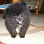 504961 caes da raca lulu da pomerania fotos 11 150x150 Cães da Raça Lulu da Pomerania: fotos
