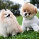 504961 caes da raca lulu da pomerania fotos 18 150x150 Cães da Raça Lulu da Pomerania: fotos