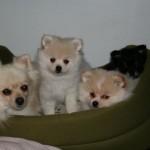 504961 caes da raca lulu da pomerania fotos 19 150x150 Cães da Raça Lulu da Pomerania: fotos