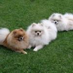 504961 caes da raca lulu da pomerania fotos 23 150x150 Cães da Raça Lulu da Pomerania: fotos