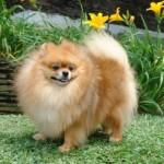 504961 caes da raca lulu da pomerania fotos 24 150x150 Cães da Raça Lulu da Pomerania: fotos