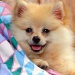 504961 caes da raca lulu da pomerania fotos 25 150x150 Cães da Raça Lulu da Pomerania: fotos