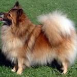 504961 caes da raca lulu da pomerania fotos 32 150x150 Cães da Raça Lulu da Pomerania: fotos