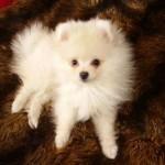 504961 caes da raca lulu da pomerania fotos 4 150x150 Cães da Raça Lulu da Pomerania: fotos