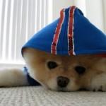 504961 caes da raca lulu da pomerania fotos 6 150x150 Cães da Raça Lulu da Pomerania: fotos