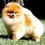 504961 caes da raca lulu da pomerania fotos 9 150x150 Cães da Raça Lulu da Pomerania: fotos
