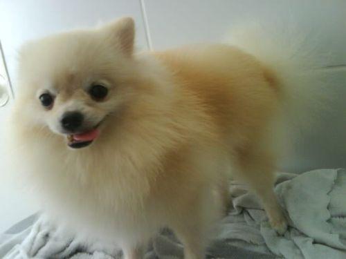 504961 caes da raca lulu da pomerania fotos Cães da Raça Lulu da Pomerania: fotos