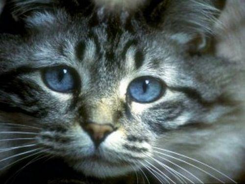 508230 gato com olho azul fotos 1 Gatos com olho azul, fotos