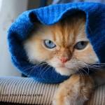 508230 gato com olho azul fotos 12 150x150 Gatos com olho azul, fotos