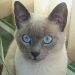 508230 gato com olho azul fotos 13 150x150 Gatos com olho azul, fotos
