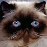 508230 gato com olho azul fotos 14 150x150 Gatos com olho azul, fotos