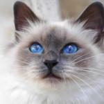 508230 gato com olho azul fotos 15 150x150 Gatos com olho azul, fotos