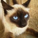 508230 gato com olho azul fotos 150x150 Gatos com olho azul, fotos