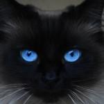 508230 gato com olho azul fotos 18 150x150 Gatos com olho azul, fotos