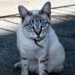 508230 gato com olho azul fotos 2 150x150 Gatos com olho azul, fotos