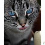 508230 gato com olho azul fotos 20 150x150 Gatos com olho azul, fotos