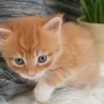 508230 gato com olho azul fotos 21 150x150 Gatos com olho azul, fotos