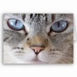 508230 gato com olho azul fotos 22 150x150 Gatos com olho azul, fotos