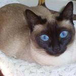 508230 gato com olho azul fotos 26 150x150 Gatos com olho azul, fotos