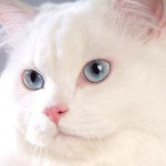 508230 gato com olho azul fotos 27 150x150 Gatos com olho azul, fotos