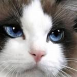 508230 gato com olho azul fotos 5 150x150 Gatos com olho azul, fotos