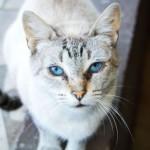 508230 gato com olho azul fotos 6 150x150 Gatos com olho azul, fotos