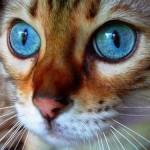 508230 gato com olho azul fotos 7 150x150 Gatos com olho azul, fotos