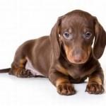 509316 fotos de caes da raca dachshund 12 150x150 Fotos de cães da raça Dachshund