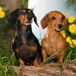 509316 fotos de caes da raca dachshund 13 150x150 Fotos de cães da raça Dachshund