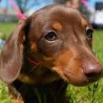 509316 fotos de caes da raca dachshund 14 150x150 Fotos de cães da raça Dachshund