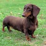509316 fotos de caes da raca dachshund 150x150 Fotos de cães da raça Dachshund