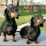 509316 fotos de caes da raca dachshund 16 150x150 Fotos de cães da raça Dachshund