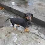 509316 fotos de caes da raca dachshund 18 150x150 Fotos de cães da raça Dachshund
