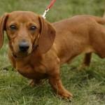 509316 fotos de caes da raca dachshund 19 150x150 Fotos de cães da raça Dachshund