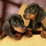 509316 fotos de caes da raca dachshund 20 150x150 Fotos de cães da raça Dachshund